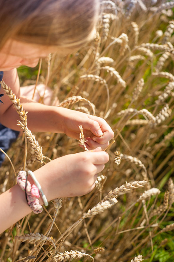 Weizenernte - Anna holt die Körner aus der Ähre