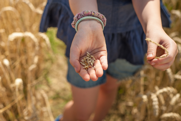 Weizenernte - Anna hält die Körner einer Ähre in der Hand